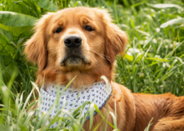 Golden Retriever mit Halstuch